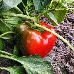 Paprika en pepers