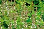 basilicum zaden kopen, citroenbasilicum - moestuinland