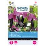 Chinees Purperklokje zaden kopen, rhodochiton atrosanguineus purple bells | Moestuinland