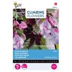 Hyacintboon zaden kopen, Lablab Purpreus ( Violet) | Moestuinland