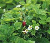 Voorbeeldfoto tuinnet beschermt je aardbeienplanten | Moestuinland