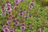 akkerplei poleimunt zaden kopen - moestuinland