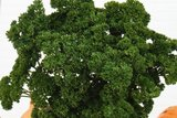 krulpeterselie moskrul zaden kopen - moestuinland