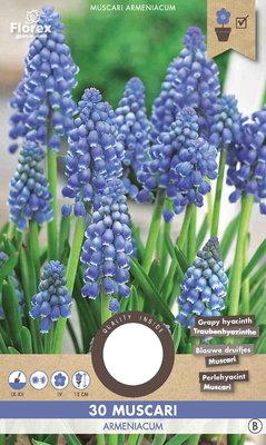 Blauwe druifjes bloembollen, Muscari Armeniacum Druifhyacint (Najaar)