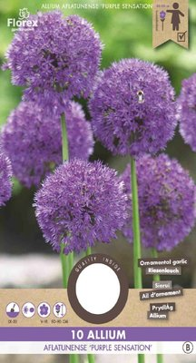 Allium bloembollen, Purple Sensation (Najaar)