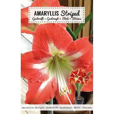 Amaryllis Bloembol, Rood Wit gestreept