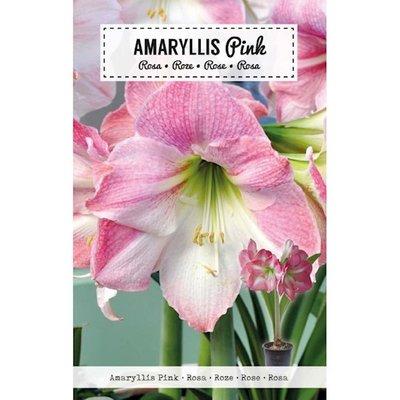 Amaryllis Bloembol, Roze Gestreept
