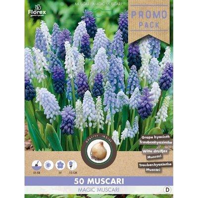 Blauwe druifjes bloembollen, Muscari Magic (Grootverpakking)
