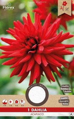 Dahlia bloembol, Acapulco Cactus Rood (Voorjaar)