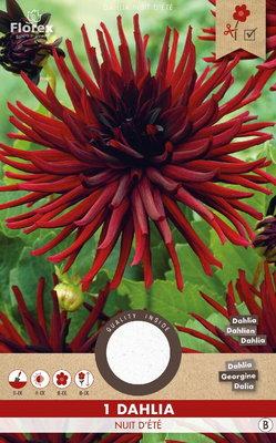 Dahlia bloembol, Nuit d'ete - Cactus zwart (voorjaar)