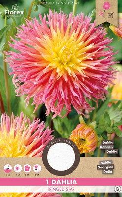 Dahlia bloembol, Fringed Star (voorjaar)