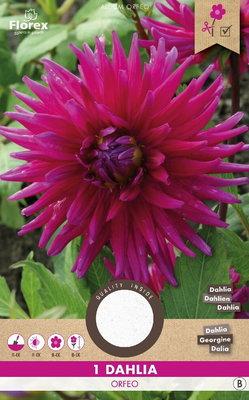 Dahlia bloembol, Orfeo cactus (voorjaar)