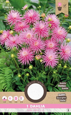 Dahlia bloembol, Park Princess Cactus (voorjaar)