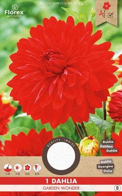 Dahlia bloembol, Garden Wonder (voorjaar)