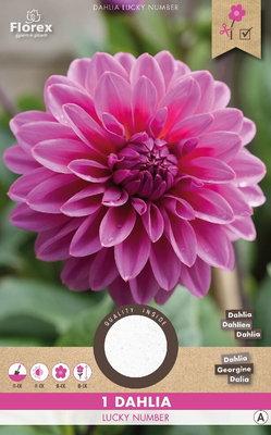 Dahlia bloembol, Lucky Number (voorjaar)