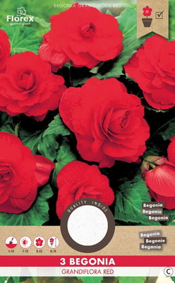 Begonia bloembollen, Dubbel Grandiflora Red (voorjaar)
