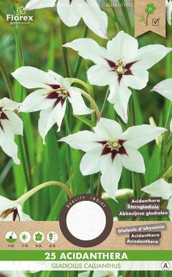 Acidanthera bloembollen, Gladiolus Callianthus (voorjaar)
