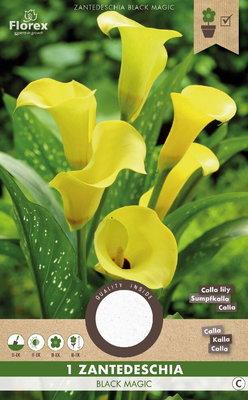Calla bloembollen, Zantedeschia Black Magic (voorjaar)
