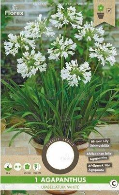 Agapanthus Bloembol, Afrikaanse Lelie Wit (voorjaar)