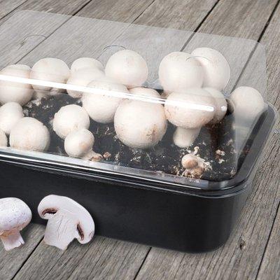 Champignon kweekset, Witte paddenstoel