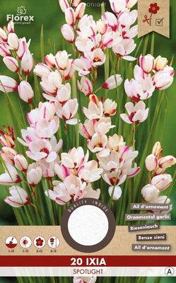Korenlelie bloembollen, Ixia Spotlight (voor-en najaar)