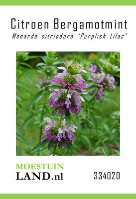 Citroen Bergamotmint zaden, Monarda citriodora