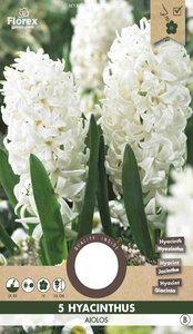 Hyacint bloembollen kopen, Aiolos White | Moestuinland