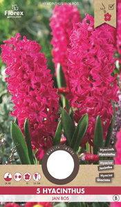 Hyacint bloembollen kopen, Jan Bos Roze (Najaar)   Moestuinland