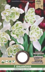 Sneeuwklokje bloembollen kopen, Galanthus flore pleno (najaar) | Moestuinland