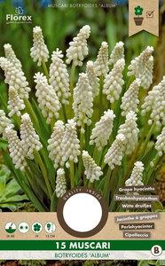 Muscari bloembollen kopen, Witte druifjes druifhyacint album (Najaar) | Moestuinland