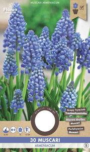 Druifhyacint bloembollen kopen, Muscari Armeniacum (Najaar) | Moestuinland