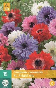 Anemoon bloembollen kopen, St. Briged | Moestuinland