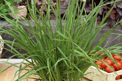 zaden kopen voor knoflookbieslook - moestuinland
