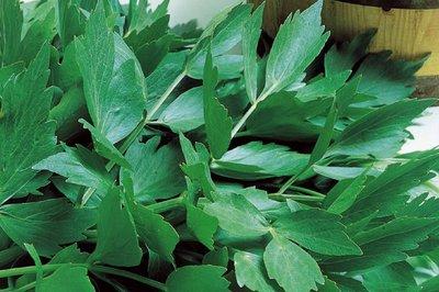 maggi kruid, maggiplant zaden kopen - moestuinland