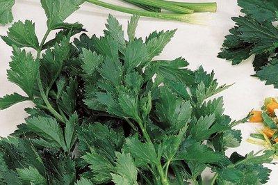 bladselderij zaden kopen - moestuinland