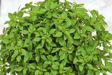 Pot basilicum minette zaden kopen - moestuinland