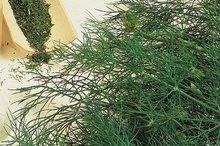 dille bouquet zaden kopen - moestuinland
