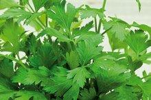 gewone bladpeterselie zaden kopen - moestuinland