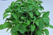 stevia zoetstof zaden kopen - moestuinland